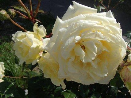 FOTKA - 01.09.2013 ruže smotanovej farby