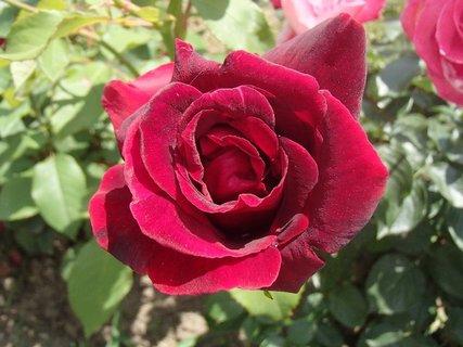 FOTKA - červená ruža s nádychom do sametova