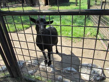 FOTKA - Černá koza