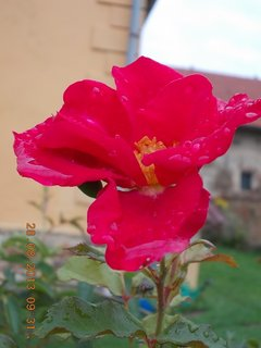 FOTKA - 27-30.8. - 17 - v dešti foceno - květ je promáčený