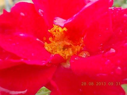 FOTKA - 27-30.8. - 18 - v dešti foceno - květ je promáčený