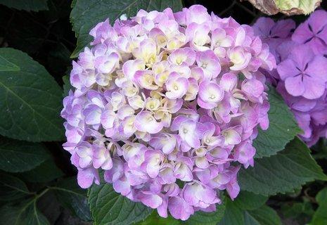 FOTKA - Kvetou hortenzie ....