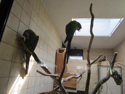 FOTKA - Ara zelenokřídlý