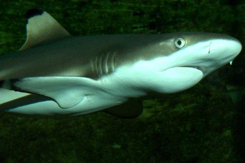 FOTKA - Žralok černoploutvý