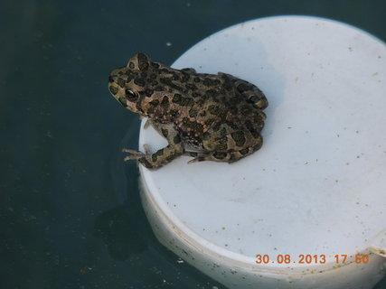 FOTKA - Žabičky obsadily bazén