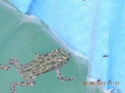 FOTKA - Žabičky obsadily bazén.