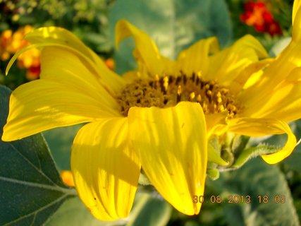 FOTKA - 30.8. - 23 - slunečnice