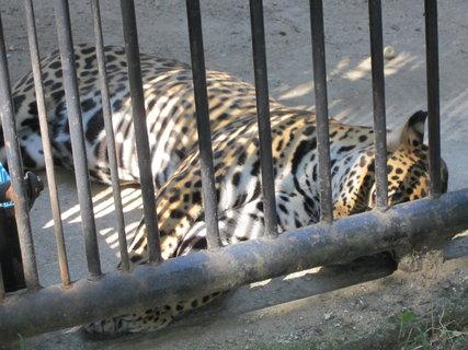 FOTKA - Jaguár americký