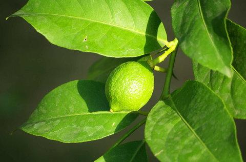 FOTKA - zeleny citronek