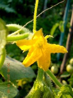 FOTKA - 30-31.8. - 2 - okurky květ
