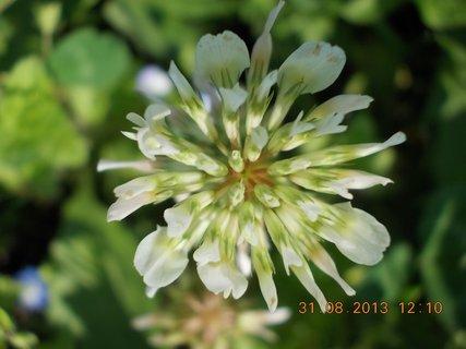 FOTKA - 30-31.8. - 26 - květ jetele