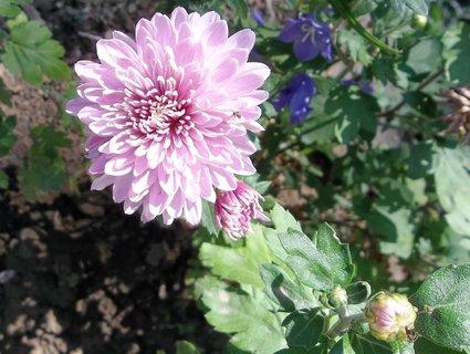 FOTKA - Chryzantéma. ..