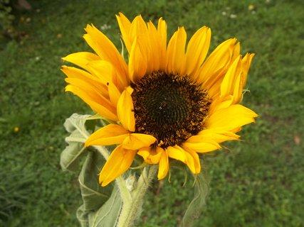 FOTKA - Slunečnice... .