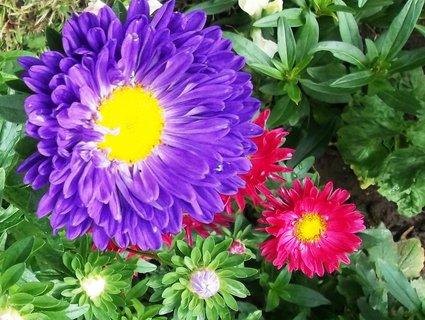 FOTKA - kvetou astry . .