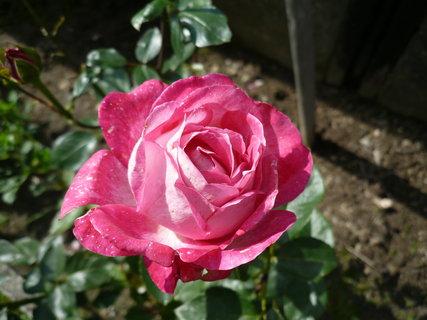 FOTKA - růže .-