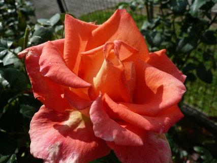 FOTKA - růže .,.