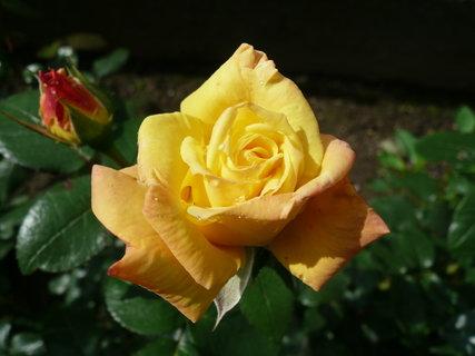 FOTKA - růže ..