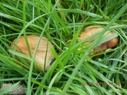 FOTKA - 2. - 3.9. - 4 - pořád nějaké nejedlé houby mám na zahradě