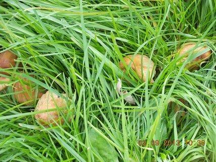 FOTKA - 2. - 3.9. - 5 - pořád nějaké nejedlé houby mám na zahradě