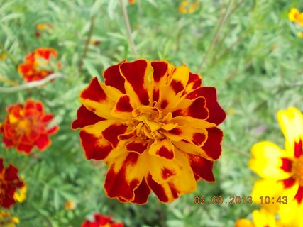 FOTKA - 2. - 3.9. - 14 - květy Afrikánů