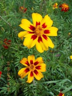FOTKA - 2. - 3.9. - 15 - květy Afrikánů