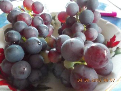 FOTKA - 4.9. - 25 - modré hrozno se už dá jíst