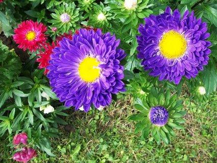 FOTKA - kvetou astry...