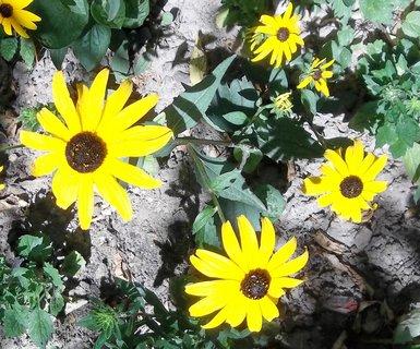 FOTKA - žluté květy .