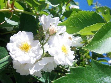 FOTKA - bílé růžičky .