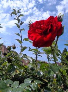 FOTKA - včerejší obloha s růží