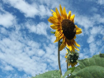 FOTKA - Slunečnice včera