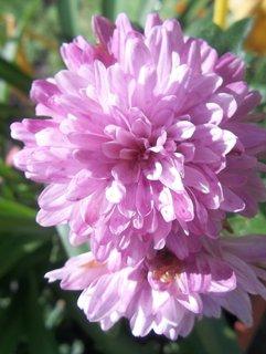FOTKA - Chryzantémky růžové. ...