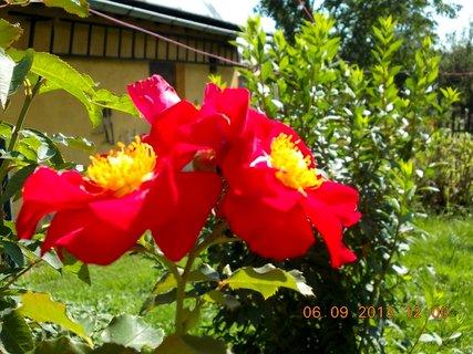 FOTKA - 6+5.9. - 4 - růže