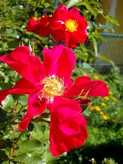 FOTKA - 6+5.9. - 5 - růže