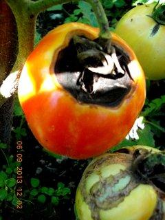 FOTKA - 6+5.9. - 6 - taky Vám toto dělají rajčata, nikdy jsem to nezažila, až letos.
