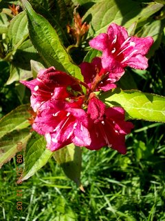 FOTKA - 6+5.9. - 8 - Wiegela stále kvete