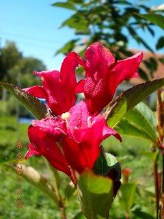 FOTKA - 6+5.9. - 9 - Wiegela stále kvete