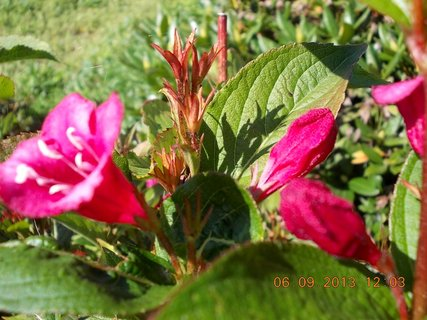 FOTKA - 6+5.9. - 10 - Wiegela stále kvete