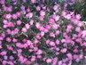 Pěkně kvetoucí petúnie