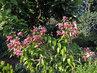 bohatě rozkvetlý keř lilie