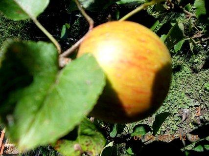 FOTKA - 8.9. + 7.9. - 11 - jablko