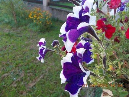 FOTKA - 8.9. + 7.9. - 14 - Petůnie ještě kvetou