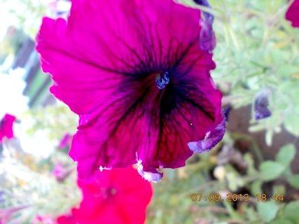 FOTKA - 8.9. + 7.9. - 15 - Pet�nie je�t� kvetou