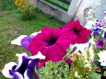 FOTKA - 8.9. + 7.9. - 16 - Petůnie ještě kvetou