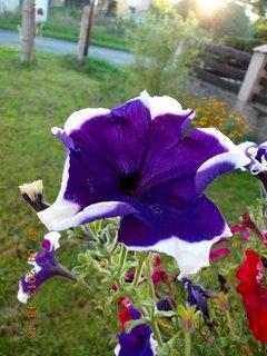 FOTKA - 8.9. + 7.9. - 17 - Petůnie ještě kvetou