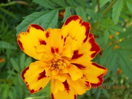 FOTKA - 8.9. + 7.9. - 23 - květ Afrikánů, každý jiné barvy, mám je nejraději