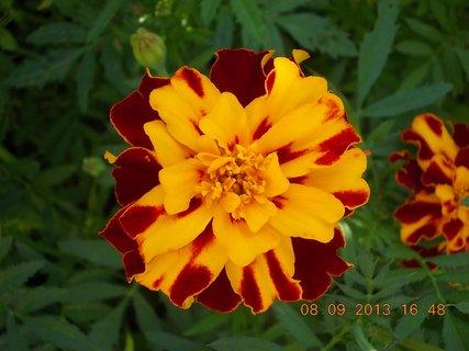 FOTKA - 8.9. + 7.9. - 25 - květ Afrikánů, každý jiné barvy, mám je nejraději