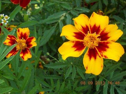 FOTKA - 8.9. + 7.9. - 26 - květ Afrikánů, každý jiné barvy, mám je nejraději