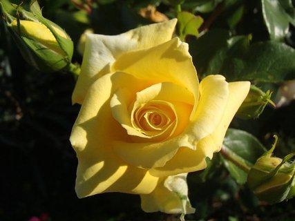 FOTKA - žltá kráska