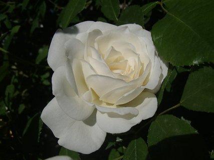 FOTKA - samotná biela